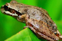 Pacific Frog brown